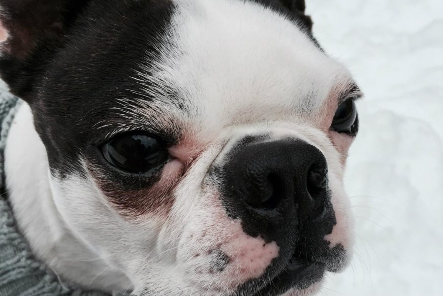 What better way to spend a snow day than hanging out with man's best friend? This photo shows a Boston Terrier whose name is Ryder. Remember our furry friends need to bundle up too.