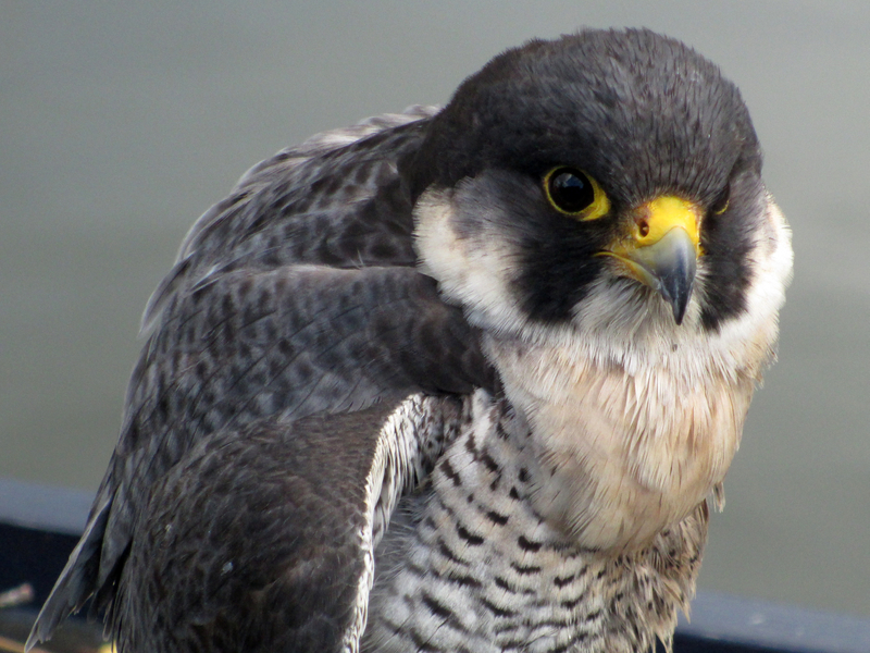 The peregrine falcone is the subject of many books, both nonfiction and fiction. In sixth grade, students may choose to read My Side of the Mountain by Jean Craighead George which is a story about a boy who has a pet peregrine falcon.