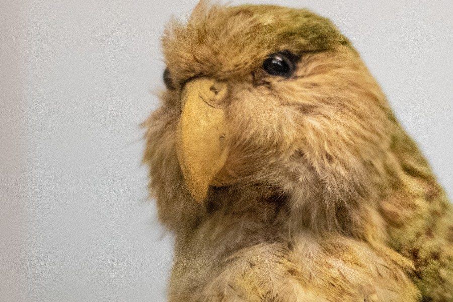 The kakapo is also called a night parrot. It is an endangered species. It lives in New Zealand.