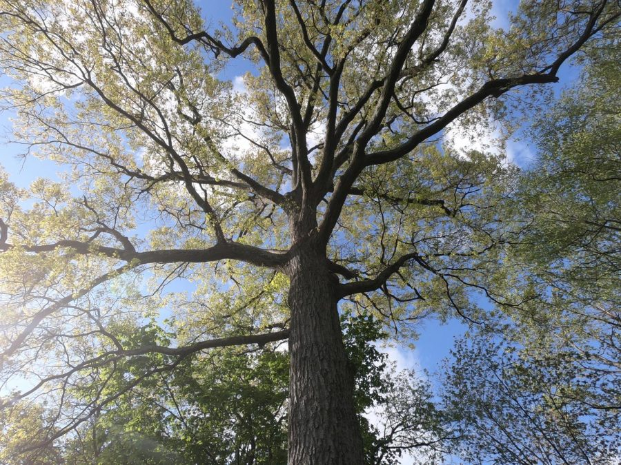 This is a picture of an oak tree beginning to grow its leaves. This was taken at Memorial School on a sunny day. This represents spring because the leaves on trees start to grow in the spring.